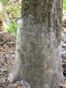 Massenvermehrung des Eichenprozessionsspinners