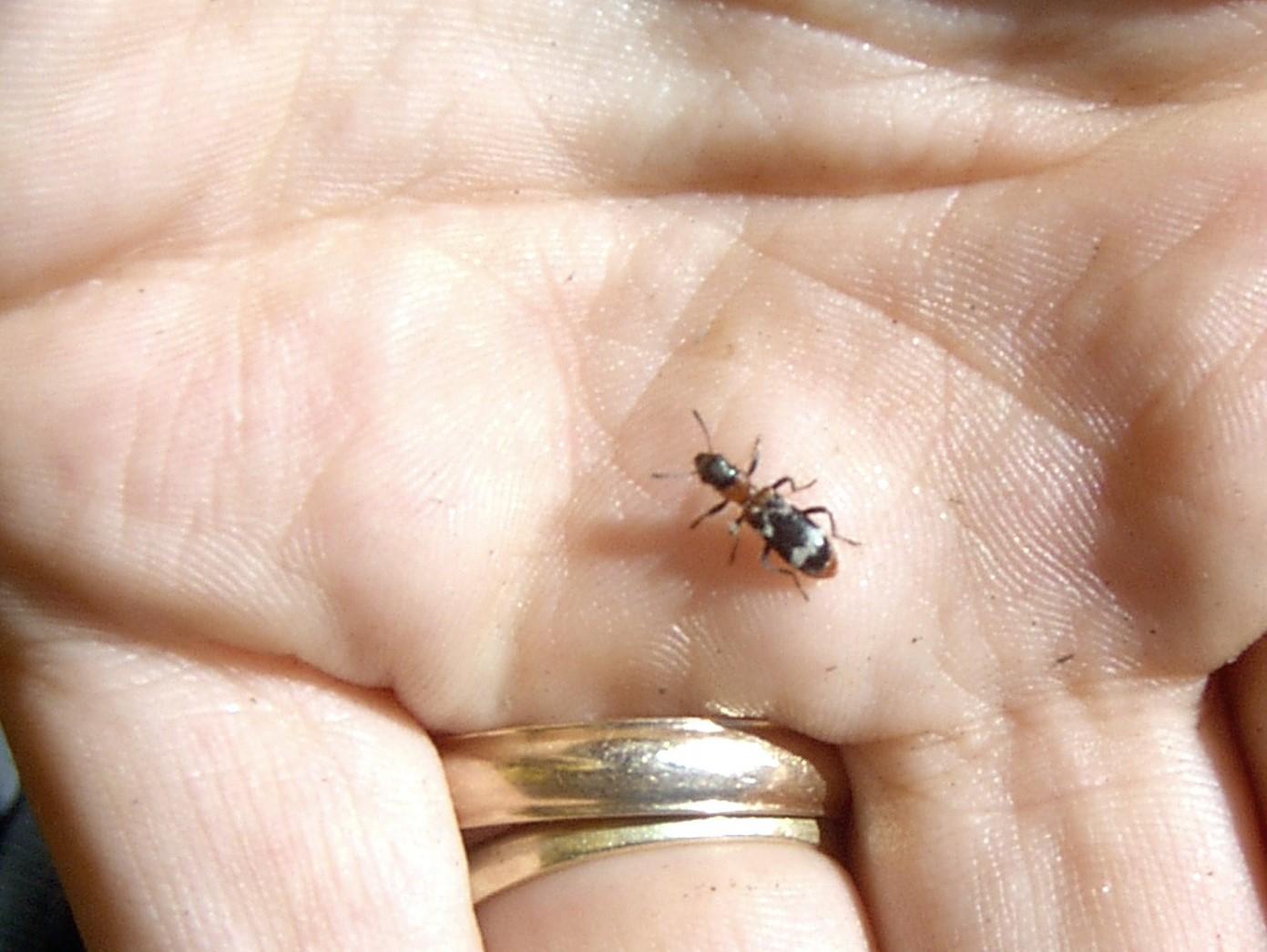 ameisenbuntkäfer
