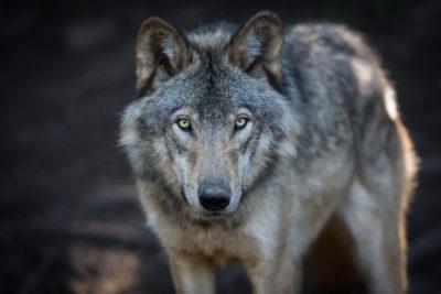 Rettet der Wolf den Wald?
